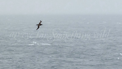 Black-footed Albatross (Canada)