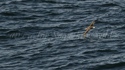 Black-footed Albatross (Alaska)