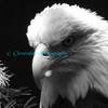 Bald Eagle B&W