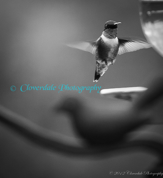 Humming_Bird-3282_B&W