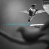 Humming_Bird-3282_B&W