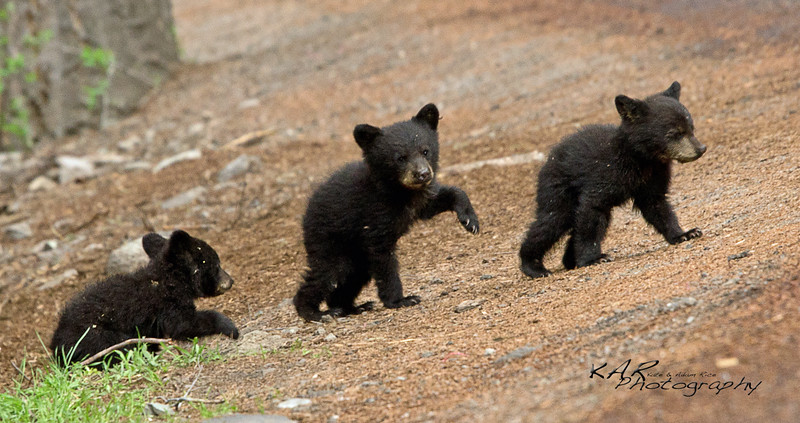 Marching Bears