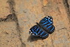 Mexican Bluewing (Myscelia ethusa)