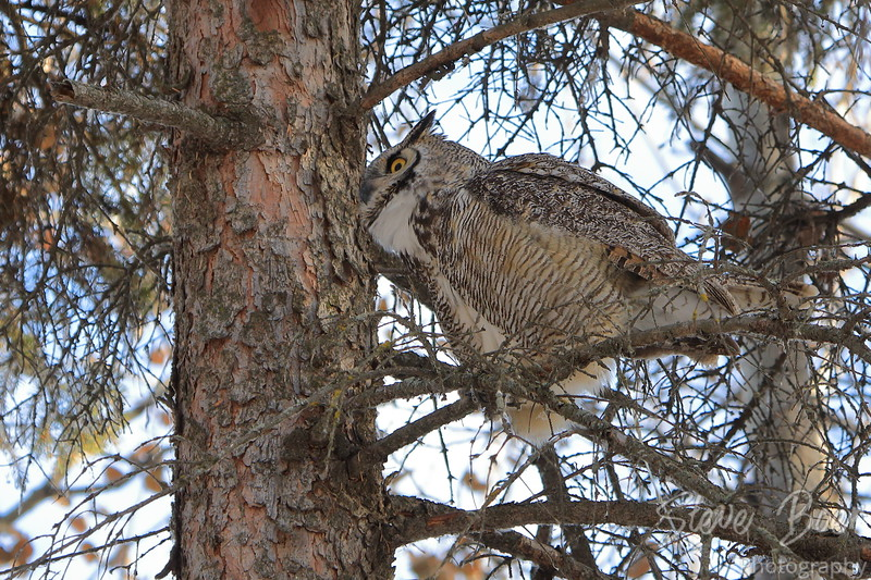 Great Horned Owl about to take off