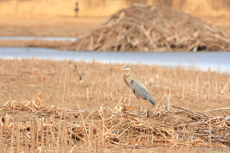 Great Blue Heron by a beaver lodge