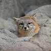 Swift Fox peeking out of his den