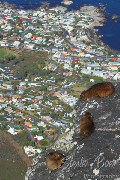 Group of Rock Hyrax on ledge 1km over Cape Town