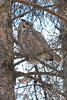 Great Horned Owl vertical