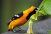 Hooded Oriole Feeding