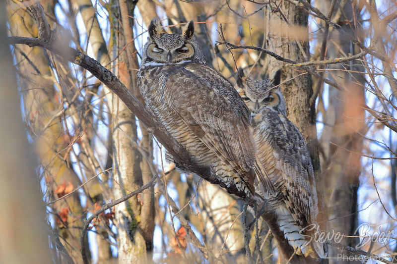 Great Horned Owl one eye open