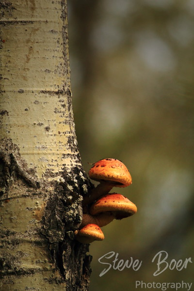 Orange mushrooms on tree
