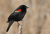 Red-winged Blackbird closeup