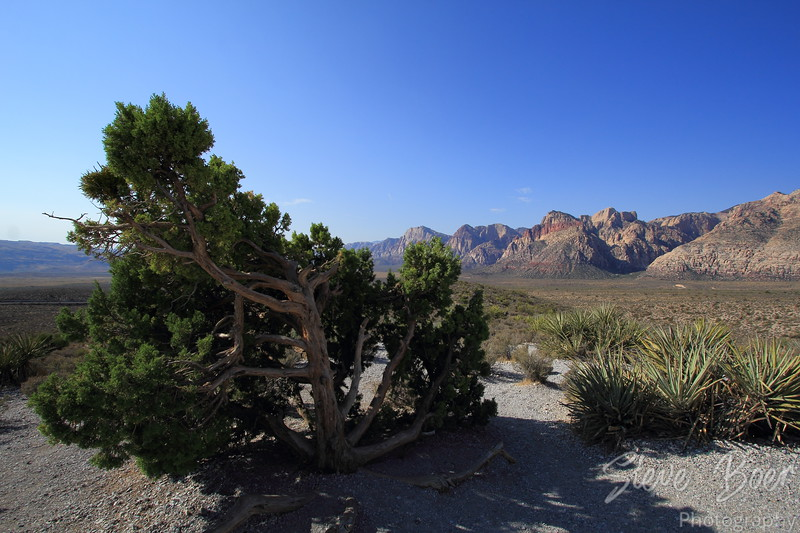 Stunted Tree in Red Rock Canyon