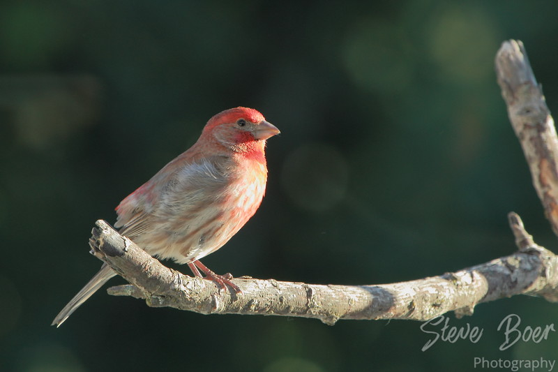 House or Purple Finch?