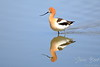 American Avocet wading in river with reflection