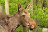 Young moose profile