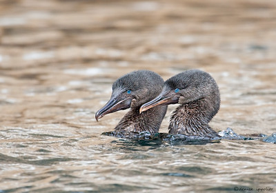 Flightless Cormorants during mating dance