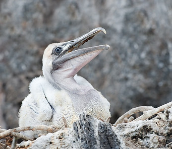 Galapagos Pelican chick