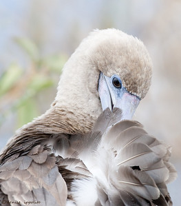 Red-footed Booby preening