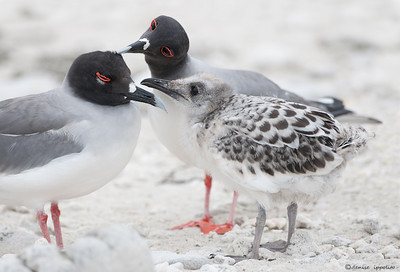 Swallow-tailed Gull family