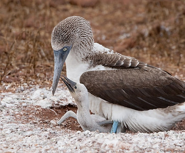 Blue-footed Booby with chick