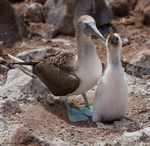 Blue-footed Booby w/ chick