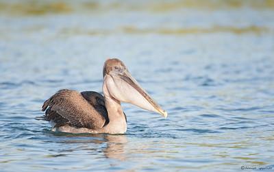 Juvenile Pelican