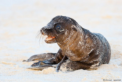 Galapagos Sea Lion pup  Finalist in Better Photo
