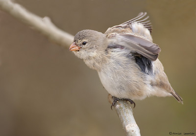 Small Tree Finch from the Galapagos