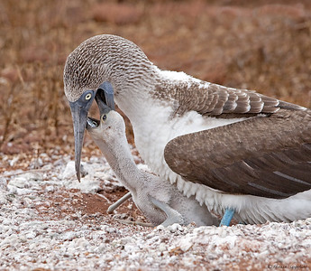 Blue-footed Booby feeding chick