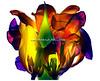 Tulipan063-2