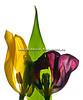 Tulipan059-1