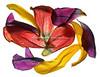 Tulipan063-PRINT
