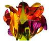 Tulipan063-3