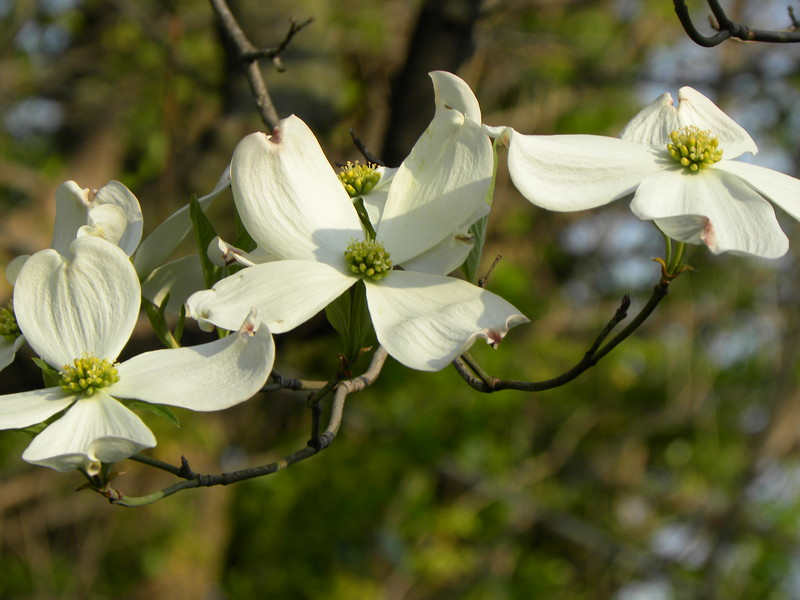 White dogwood cluster, light green