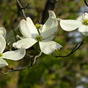 White dogwood cluster, light green
