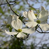 White dogwood cluster, blue