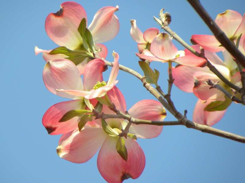 Blue sky pink dogwood