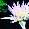 Waterlily D (2012)