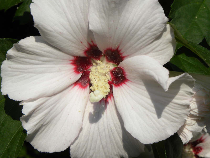 White Rose of Sharon, close-up