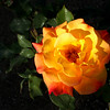 Orange Cali rose