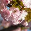 Pink cherry close-up 2