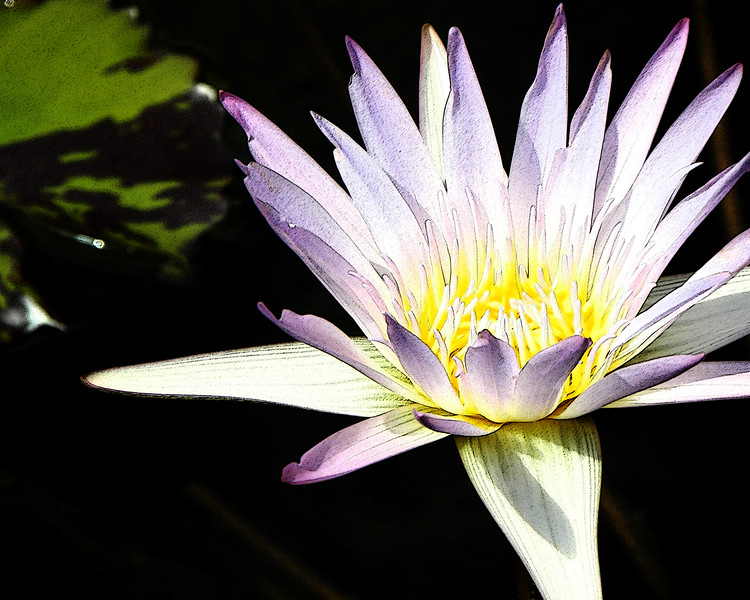 Waterlily A (2012)