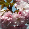 Pink cherry close-up 1