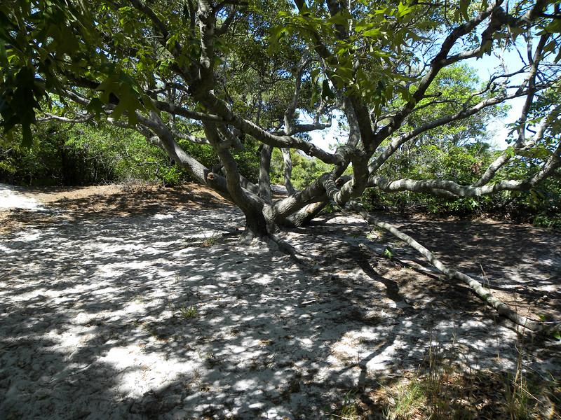 Assateague tree