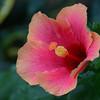 Hibiscus Heaven