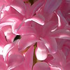 Pink hyacinth close-up