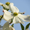 White dogwood, blue sky