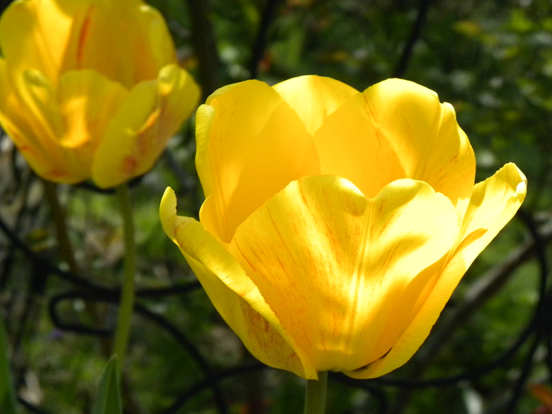 Sunlit yellow tulip 2