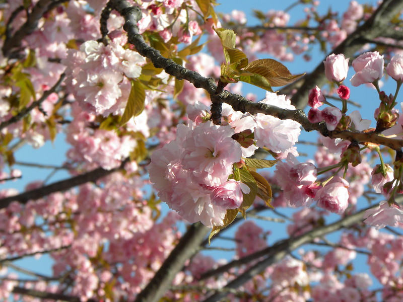 Pink cherry branches